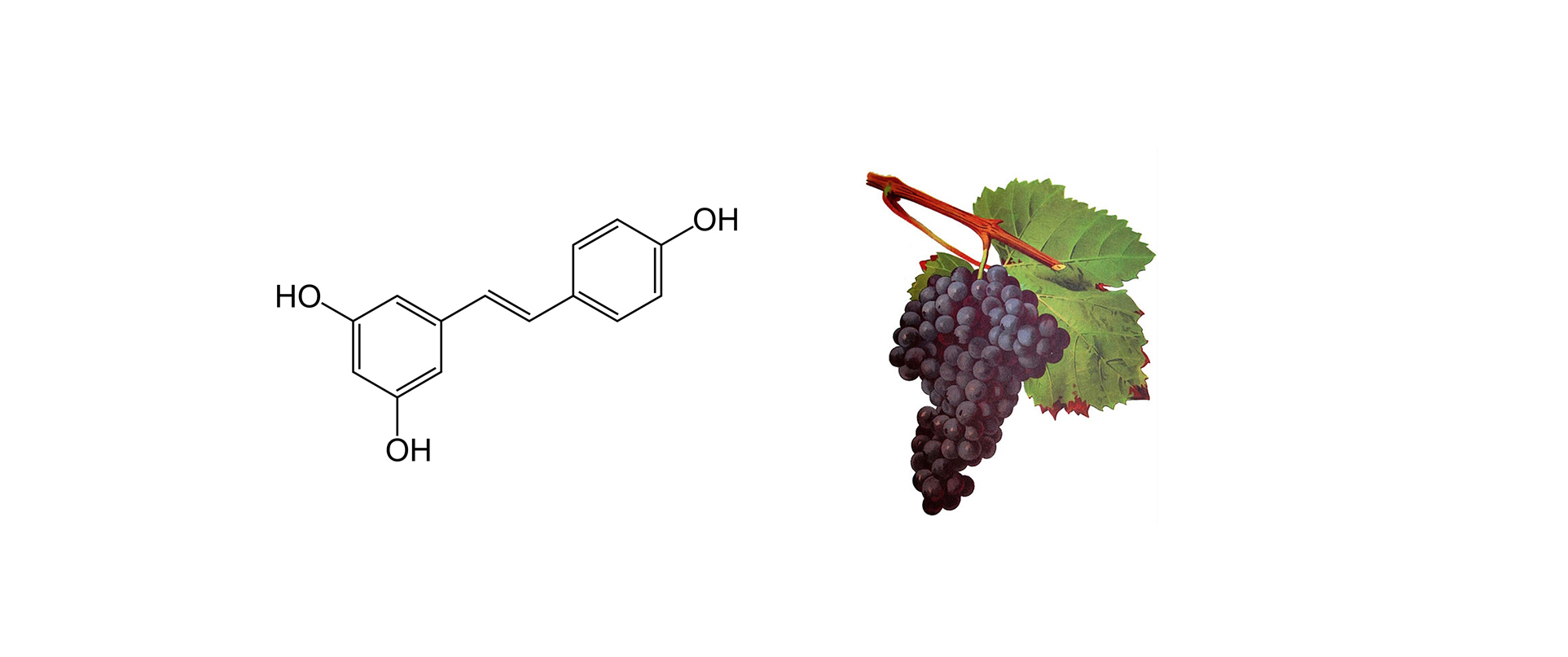 Resveratrol molecule and grapes