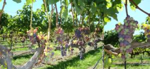 Merlot grapes in the Collaboration vineyard undergoing 'veraison'