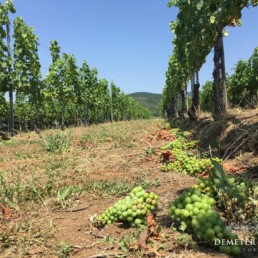 Demeter Zoltan Vineyard