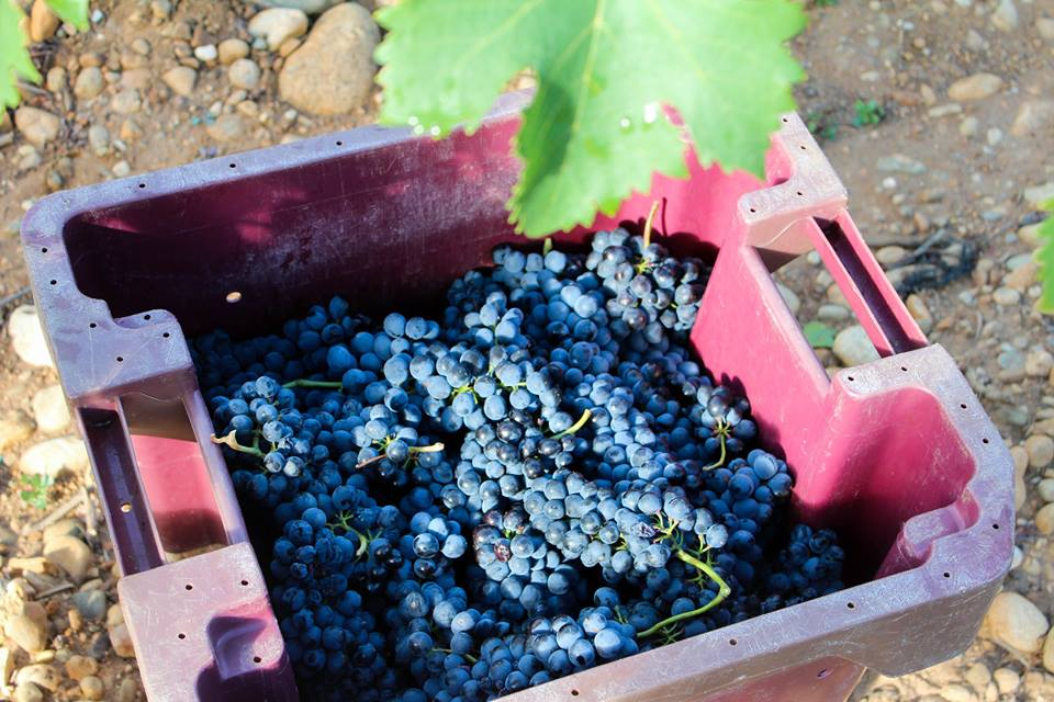 Syrah Grapes in La Chapelle