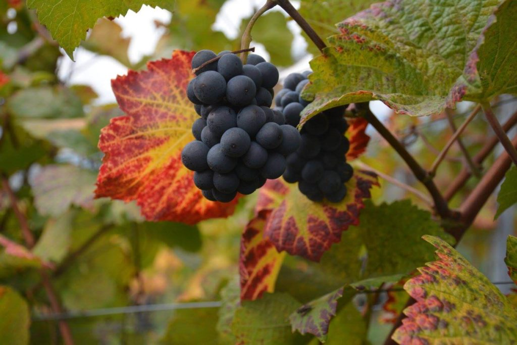 Pinot Nero grapes in the Franz Haas vineyards, Alto Adige