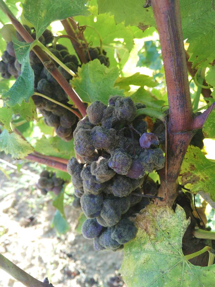 Noble rot on Climens grapes