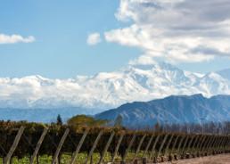 Vineyard in Argentina