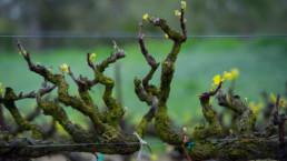 Old grape vines in vineyard