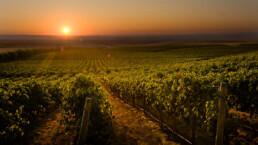 Photo of Columbia Crest vineyard