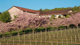 Cherry blossom trees in bloom outside winery