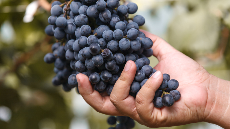 Hand holding red wine grapes