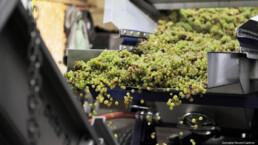 White wine grapes falling into machine