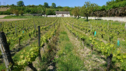 Grape vines outside the domaine
