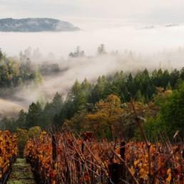 Foggy view of vineyard