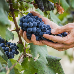Red wine grapes being picked