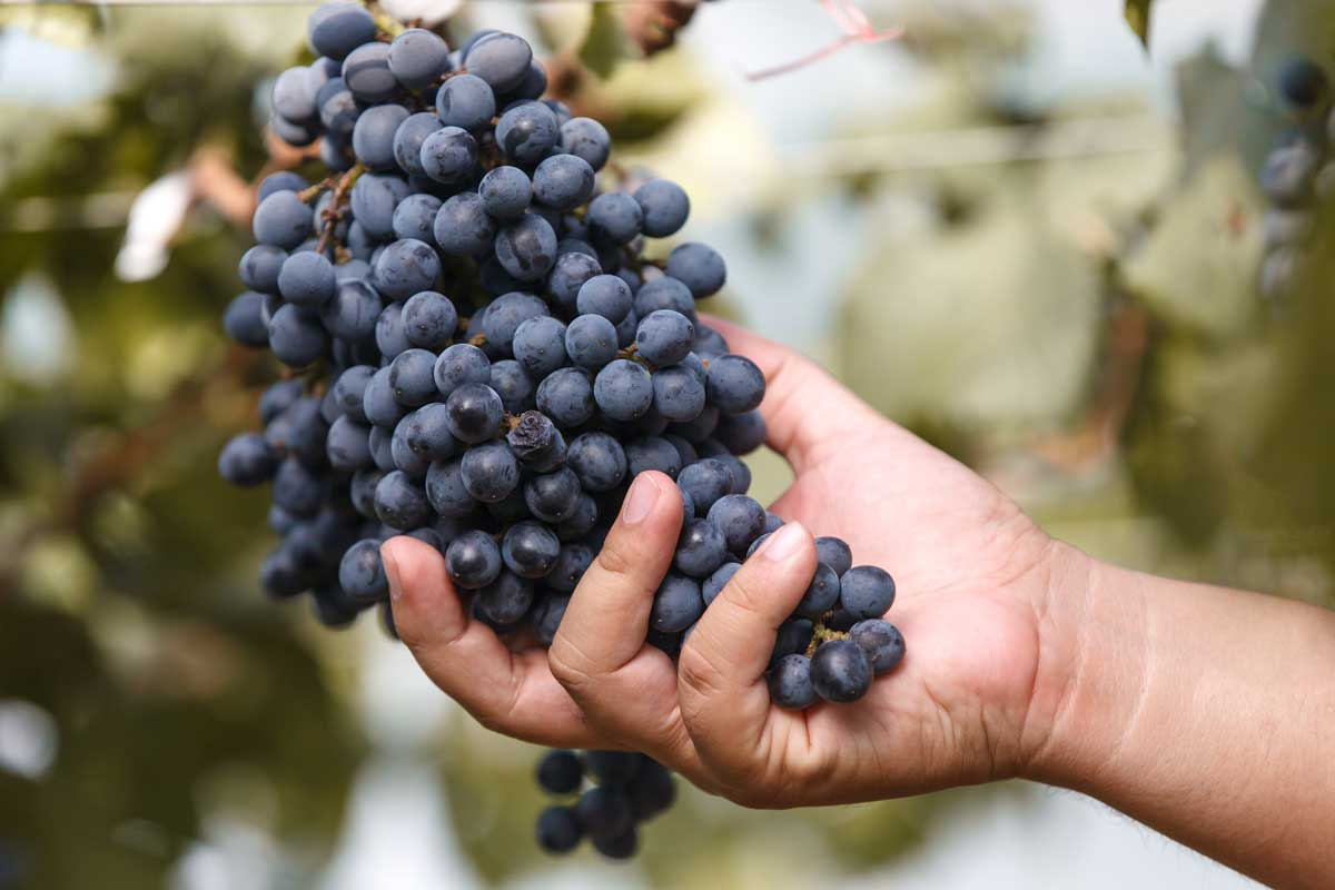 Natural wine grapes