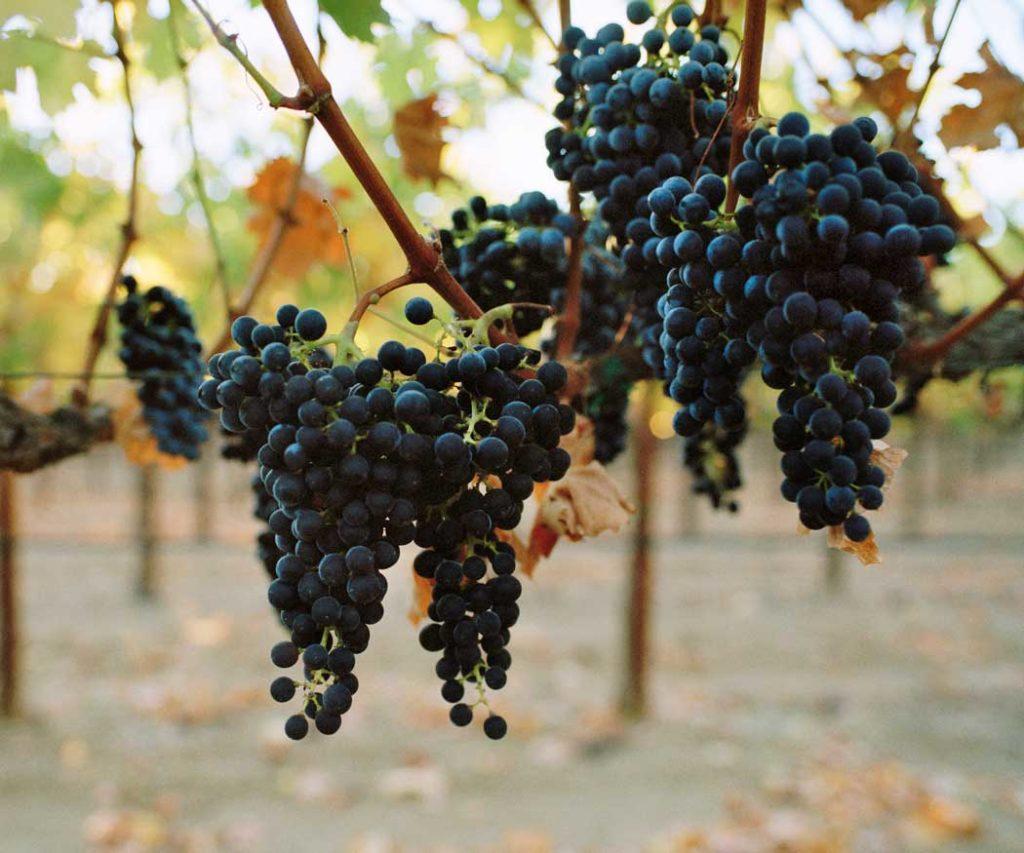 Spottswoode Cabernet Grapes